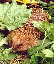 this funny little hedgehog......
